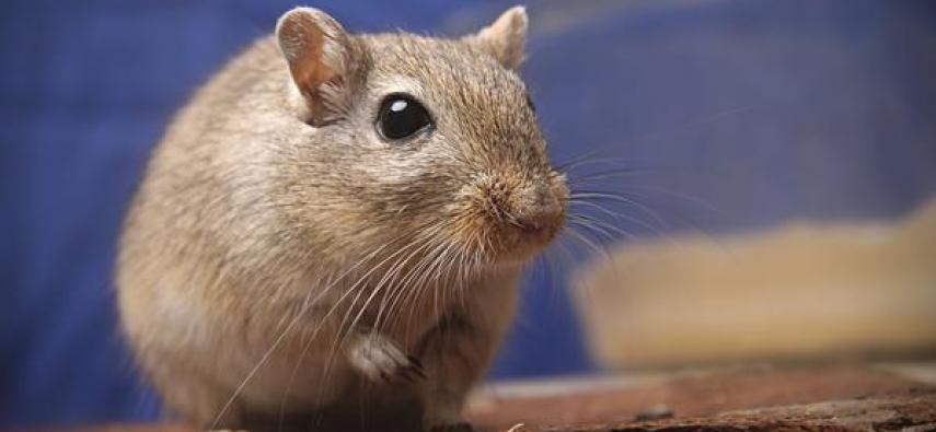 Plastyczny mózg myszoskoczków
