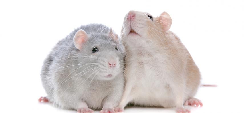 Behawioralne i neuronalne podstawy awersji wobec nierówności (inequity aversion) u szczurów