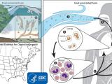 C. Cryptococcus gattii i Candida auris - dwa grzyby w barszcz
